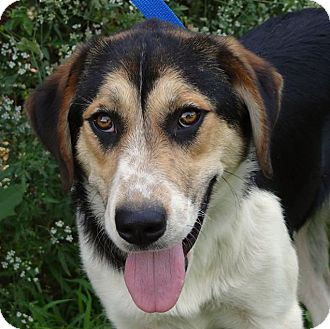 Hound (Unknown Type)/Collie Mix Dog for adoption in Westport, Connecticut - *Libby - PENDING