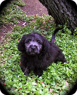 Cocker Spaniel Mix Puppy for adoption in Cypress, California - ROSS