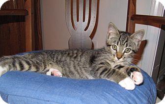 American Shorthair Kitten for adoption in Harrisburg, North Carolina - Sammy White Paws