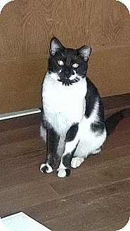 American Shorthair Cat for adoption in West Los Angeles, California - Sam & Elliot