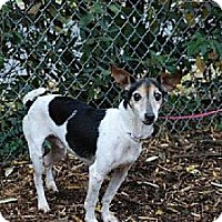Jack Russell Terrier Mix Dog for adoption in Columbia, Tennessee - Jessie/TN
