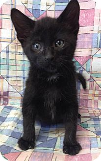 Domestic Shorthair Cat for adoption in Larned, Kansas - Curly