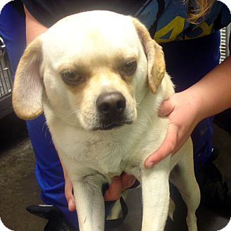 Pug/Beagle Mix Dog for adoption in Manassas, Virginia - ollis