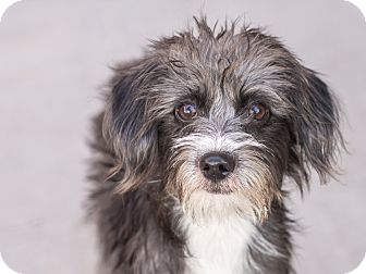 Shih Tzu/Terrier (Unknown Type, Small) Mix Puppy for adoption in Chandler, Arizona - Peppermint Patty