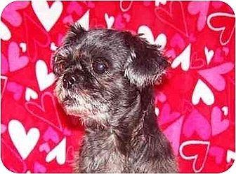 Shih Tzu Dog for adoption in Old Fort, North Carolina - Foxy