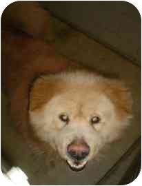 Chow Chow Mix Dog for adoption in Walker, Michigan - Brutus