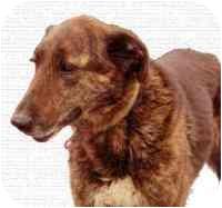 Irish Wolfhound/Greyhound Mix Dog for adoption in Glen Allen, Virginia - Luke