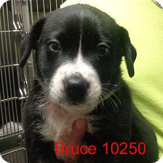 Border Collie/Labrador Retriever Mix Puppy for adoption in Greencastle, North Carolina - Bruce