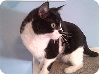 Domestic Shorthair Cat for adoption in Concord, North Carolina - Lucy