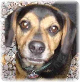 German Shepherd Dog/Beagle Mix Dog for adoption in Wyoming, Minnesota - Henry