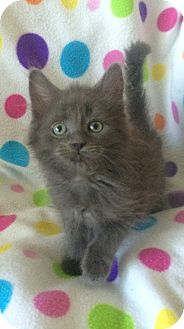 Maine Coon Kitten for adoption in Tampa, Florida - Claus