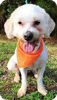 Poodle (Standard) Mix Dog for adoption in Savannah, Georgia - Penny