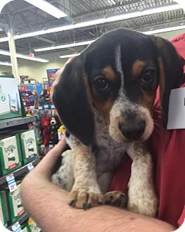 Beagle/Blue Heeler Mix Puppy for adoption in Middletown, Ohio - Shelby