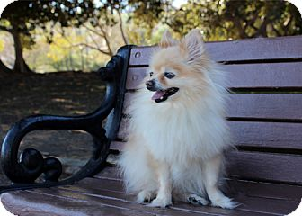Pomeranian Dog for adoption in Rancho Palos Verdes, California - Uilani