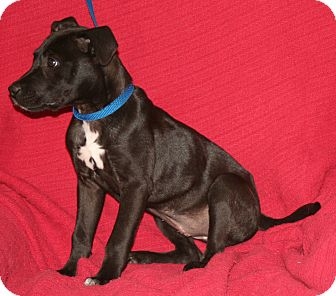 Pit Bull Terrier/Retriever (Unknown Type) Mix Dog for adoption in Umatilla, Florida - Lilybud