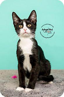 Domestic Shorthair Kitten for adoption in Cincinnati, Ohio - Big Ben