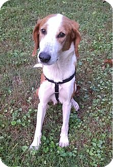 Hound (Unknown Type) Mix Dog for adoption in Chesterfield, Virginia - Lucky