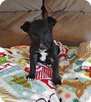 Labrador Retriever/Pit Bull Terrier Mix Puppy for adoption in Hillsboro, Missouri - Jiminy Cricket