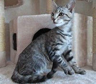 Domestic Shorthair Cat for adoption in San Bernardino, California - Bogie