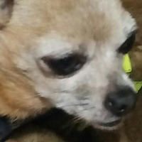 Chihuahua Dog for adoption in st peters, Missouri - Tequila