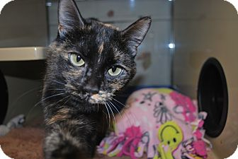 Domestic Shorthair Cat for adoption in New Castle, Pennsylvania - Roxy