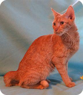 Domestic Shorthair Cat for adoption in Allentown, Pennsylvania - Marigold