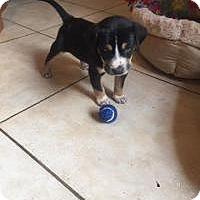 Adopt A Pet :: Dawson - Marlton, NJ