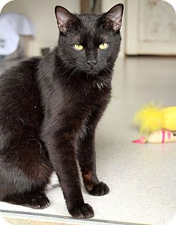 Domestic Shorthair Cat for adoption in McCormick, South Carolina - Sunny