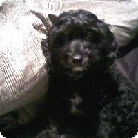Adopt A Pet :: Pookie (COURTESY POST) - Baltimore, MD