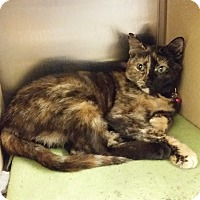Adopt A Pet :: Daffodil (in CT) - East Hartford, CT