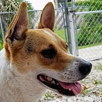 Adopt A Pet :: Brutus - Fort Myers, FL