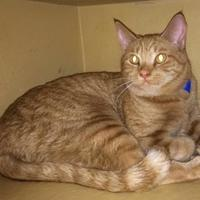 Domestic Shorthair/Domestic Shorthair Mix Cat for adoption in Georgetown, South Carolina - Dallas
