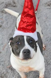 American Pit Bull Terrier Mix Dog for adoption in Spring City, Pennsylvania - Shortie