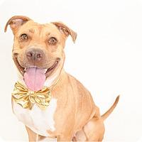 Adopt A Pet :: Goldilocks - Phoenix, AZ