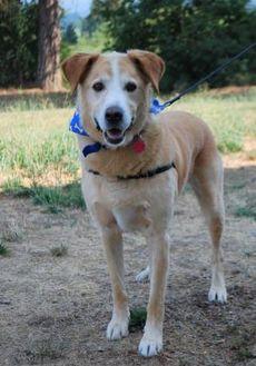 Labrador Retriever Mix Dog for adoption in Hood River, Oregon - Bogey