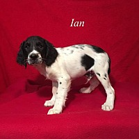 Adopt A Pet :: Ian - Chester, IL