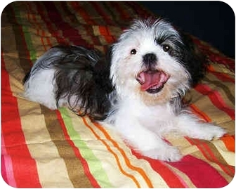 Shih Tzu Mix Puppy for adoption in Latrobe, Pennsylvania - Romeo