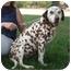 Photo 2 - Dalmatian Dog for adoption in Turlock, California - Cinnmon