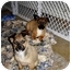 Photo 2 - Shepherd (Unknown Type)/Sheltie, Shetland Sheepdog Mix Puppy for adoption in Bel Air, Maryland - Gizmo