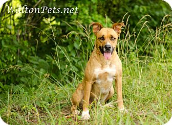 Boxer Mix Dog for adoption in Monroe, Georgia - CHEYENNE