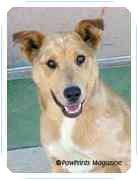 Australian Shepherd/Greyhound Mix Dog for adoption in Wilmington, North Carolina - Jody