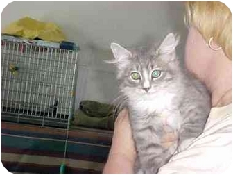 Domestic Shorthair Cat for adoption in Quincy, Massachusetts - Dutch & Tammy