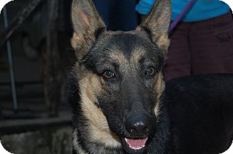 German Shepherd Dog Dog for adoption in Dripping Springs, Texas - Libby