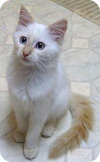 Domestic Mediumhair Kitten for adoption in Bedford, Massachusetts - Taffy