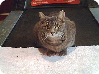 Domestic Shorthair Cat for adoption in Cincinnati, Ohio - Melena
