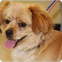 Adopt A Pet :: Beijing - Gilbert, AZ