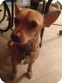 Chihuahua Mix Dog for adoption in Gainesville, Florida - Sparky