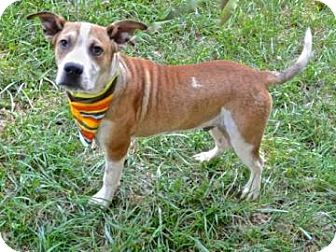 Hound (Unknown Type)/Shepherd (Unknown Type) Mix Dog for adoption in Lincolnton, North Carolina - Tank