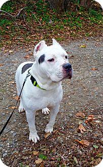 Pit Bull Terrier Mix Dog for adoption in Sagaponack, New York - Romeo