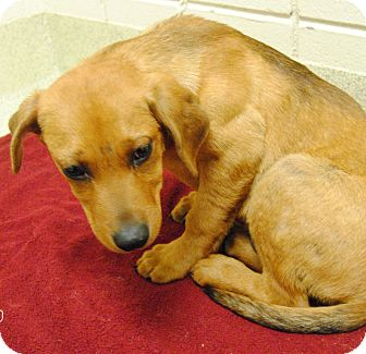 Hound (Unknown Type) Mix Puppy for adoption in Windsor, Virginia - Romeo